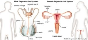 genital system changes
